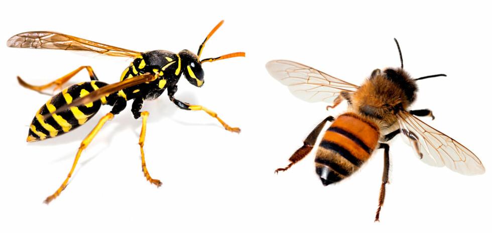 VEPS OG BIE: Ved biestikk vil brodden ofte sitte igjen i huden. Både vepsestikk, bistikk og humlestikk kan gi allergi. Foto: NTB Scanpix/Shutterstock