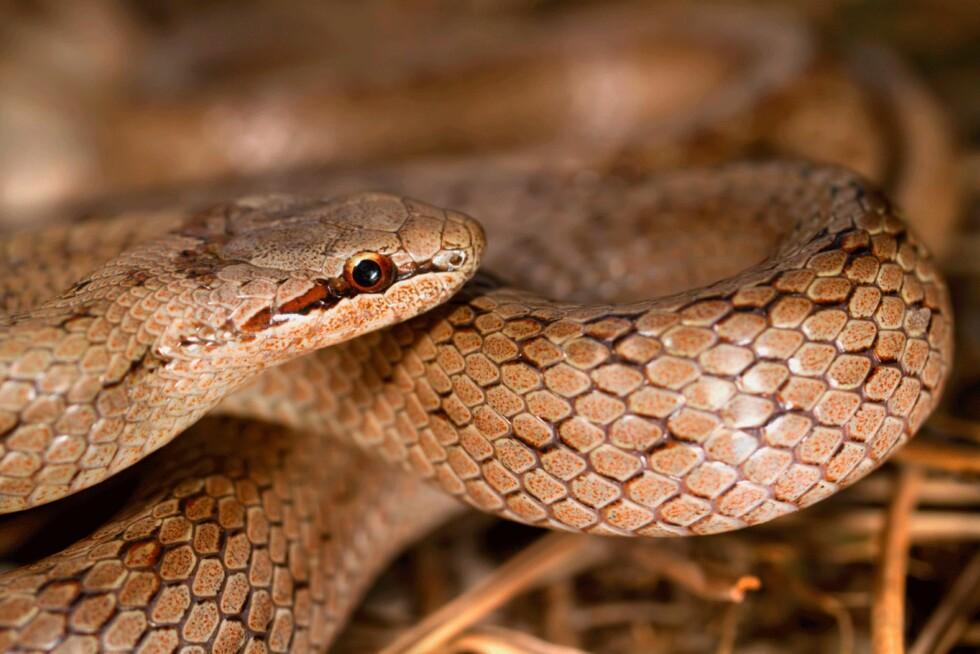 SLETTSNOK: Slettsnoken kan bite, men er ikke giftig. Den er en varmekjær slange som i Norge lever langs kysten fra svenskegrensa til Jæren. Foto: NTB scanpix Foto: NTB scanpix
