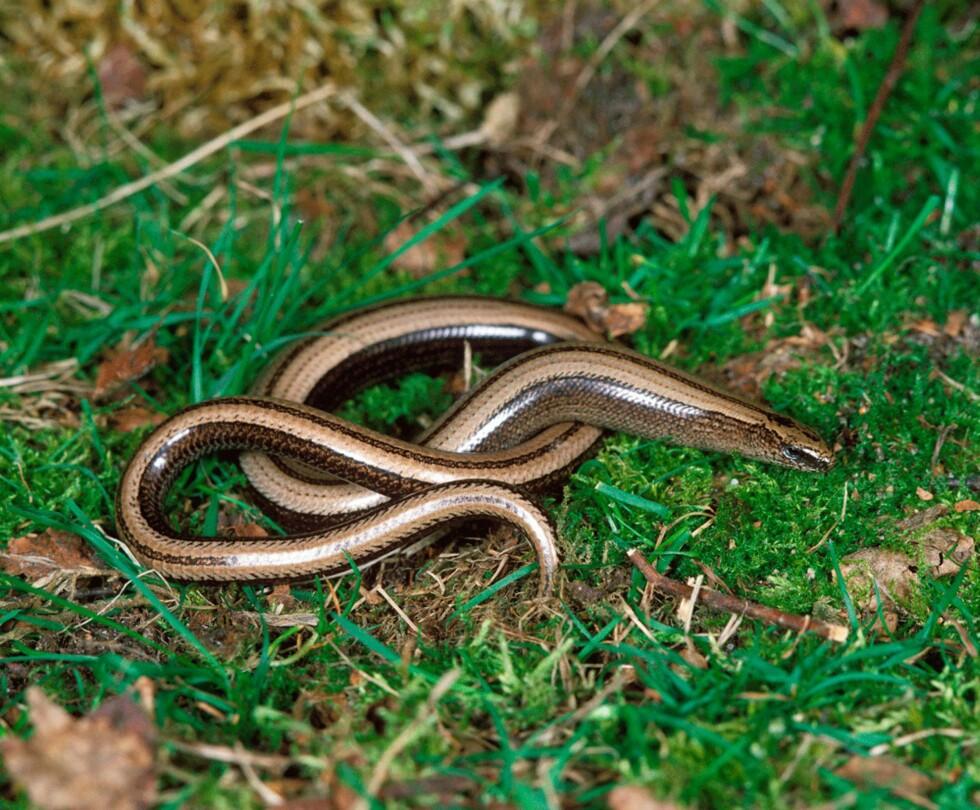 IKKE GIFTIG: Stålormen er egentlig ikke en slange, selv om den mangler ben - det er en øgle. En kan lett se at stålormen ikke er en slange på at den har øyelokk som kan åpnes og lukkes. Kan bli 40-46 cm lang. FOTO: NTB scanpix/Zuma Press, Gerard Lacz Foto: NTB scanpix/Zuma Press, Gerard Lacz