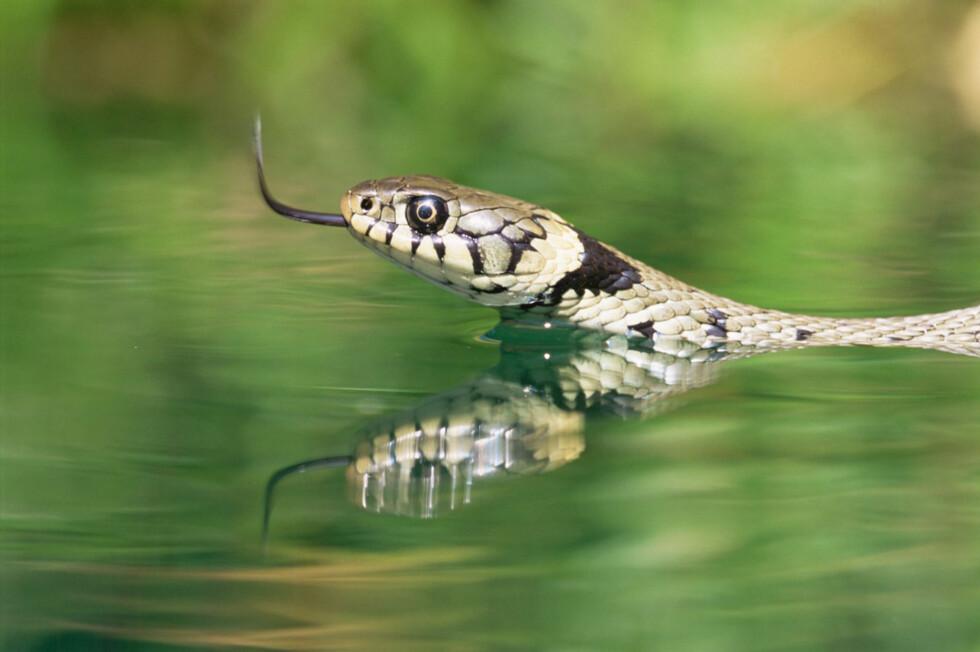BUORM PÅ SVØMMETUR: De gule feltene bak hodet viser at dette er en helt ufarlig slange å møte på svømmetur. Foto: NTB scanpix Foto: NTB scanpix