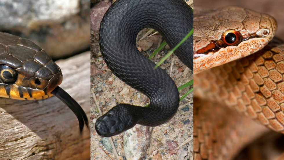 HVEM ER GIFTIG: To av ormene er helt ufarlige, den tredje har et giftig bitt. Se hvilke i bildegalleriet lengre ned. Foto: NTB scanpix
