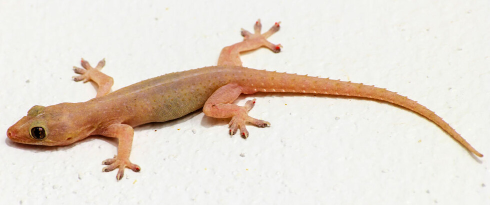 HUSGEKKO: Thailand byr på nye møter med små og store dyr. Husgekko kan være mellom 7-14 centimeter lang og har sugekopper som gjør at den kan klatre hvor som helst.