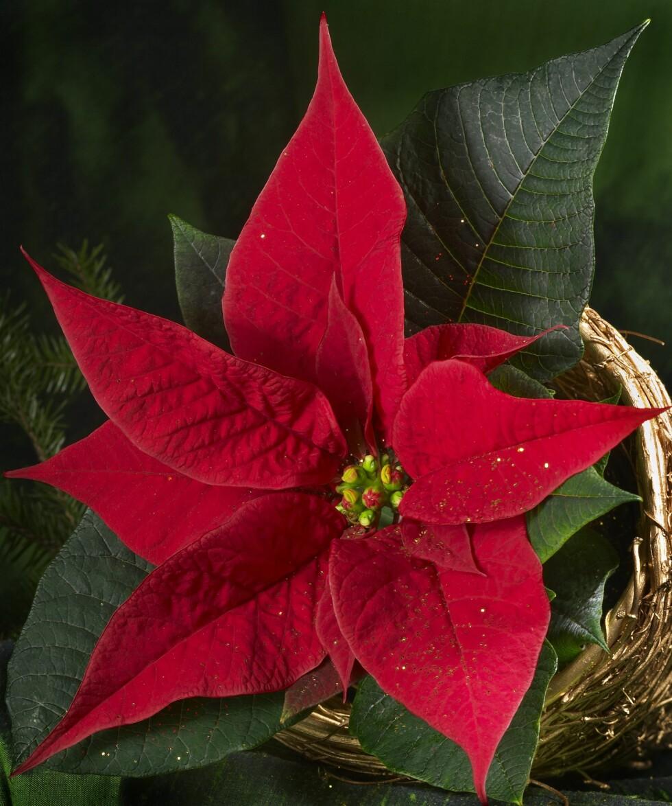 VERSTINGEN: Du finner den nærmest overalt i juletida - til mange allergikeres store fortvilelse.    Foto: Samfoto/NTB Scanpix