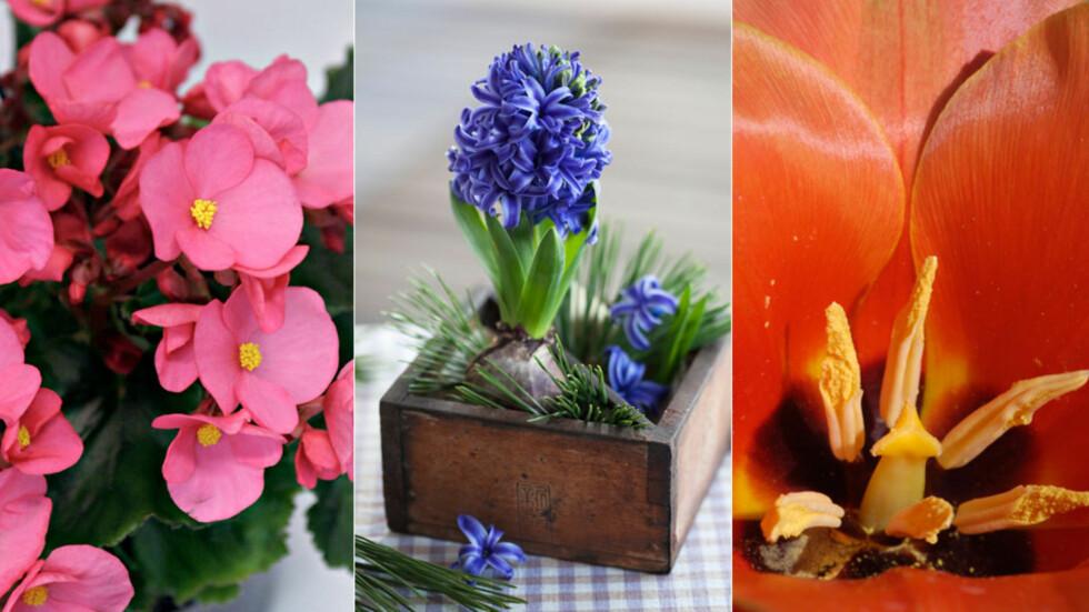 JULEBLOMSTER SOM MANGE IKKE TÅLER: Juleglede, Svibel og tulipan kan fremkalle allergisymptomer for allergikere. Foto: NTB scanpix