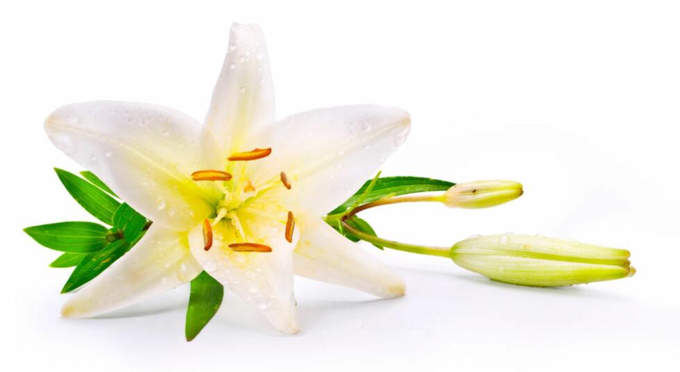 LILJE: eller Lilly hvis du velger den engelske navnevarianten. Foto: Shutterstock.com ©