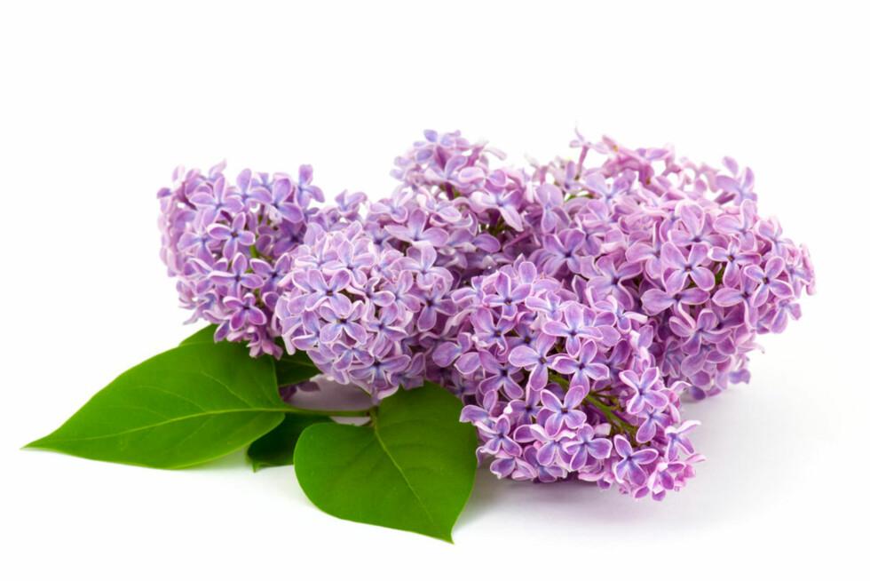 SYRIN: eller Lilac på engelsk Foto: Shutterstock.com ©