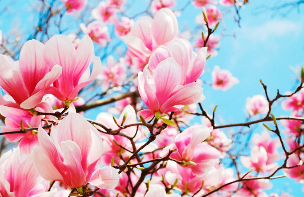 MAGNOLIA: Velg et navn fra en svært så eksotisk blomst. Foto: Shutterstock.com ©