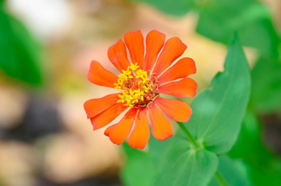 ZINNIA: Vakker og eksotisk Foto: Shutterstock.com ©
