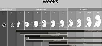 Fosterutvikling - slik vokser fosteret