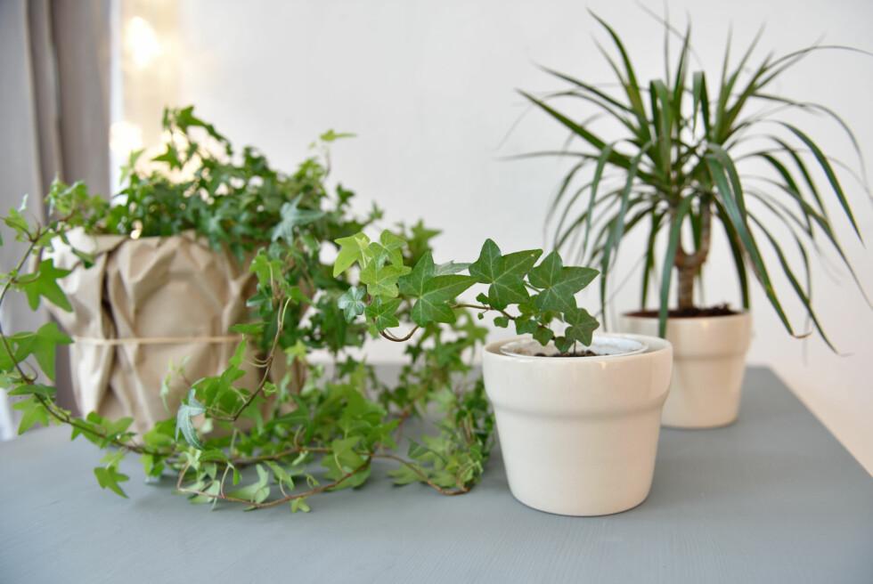 <strong>GRØNNE PLANTER:</strong> Bruk av grønne planter gir rommene liv og forbedrer luften vi puster ved å tilføre oksygen og holde luftfuktigheten på et sunt nivå i en ellers tørr stueluft. Foto: Shutterstock / Lilyana Vynogradova