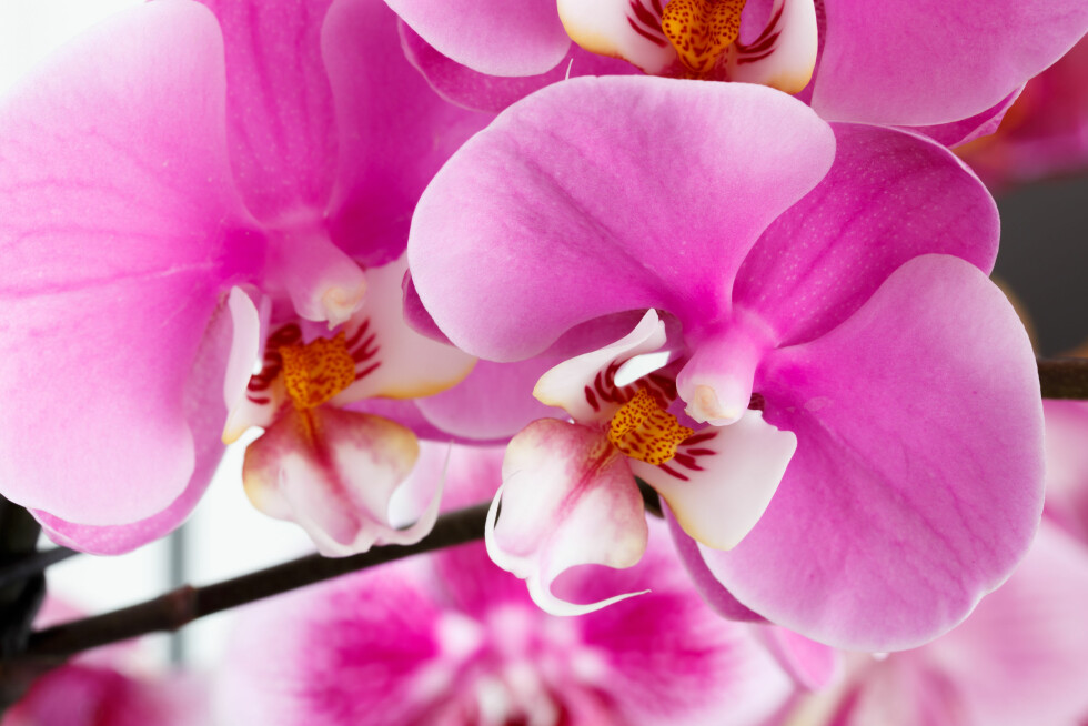 <strong>ORKIDEER HJEMME OG PÅ JOBB:</strong> - Orkideen er et godt eksempel på en plante som er god å bruke for å senke stress, sier eksperten.  Foto: Shutterstock / Cristi Kerekes