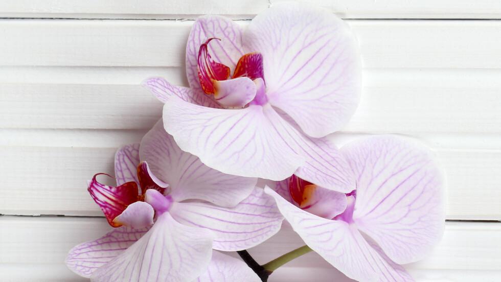 <strong>ORKIDÉ:</strong> Selv om den ikke lever så lenge, har den en god luftrensende effekt så lenge den fins i rommet, sier Helen Gaustad, daglig leder hos Tropisk Design AS. Foto: Shutterstock / Lefthanders' store