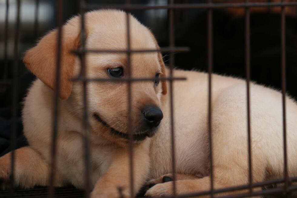 HUND I BUR: Eksperten mener at det å ha en hund i bur en hel arbeidsdag burde være straffbart.  Foto: Shutterstock / mp.j
