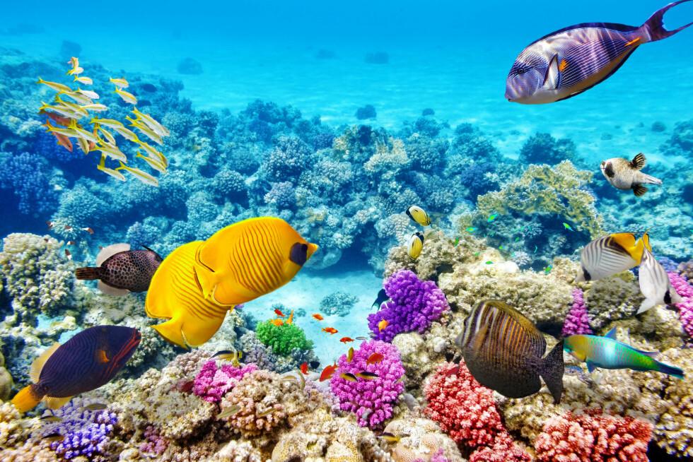 FANTASTISK: Great Barrier Reef er nemlig hjemmet til over 350 forskjellige typer koraller. Foto: Shutterstock / Brian Kinney