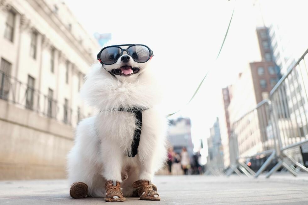 STREETSTYLE: Denne hunden stjal all oppmerksomhet i New York. Foto: Afp
