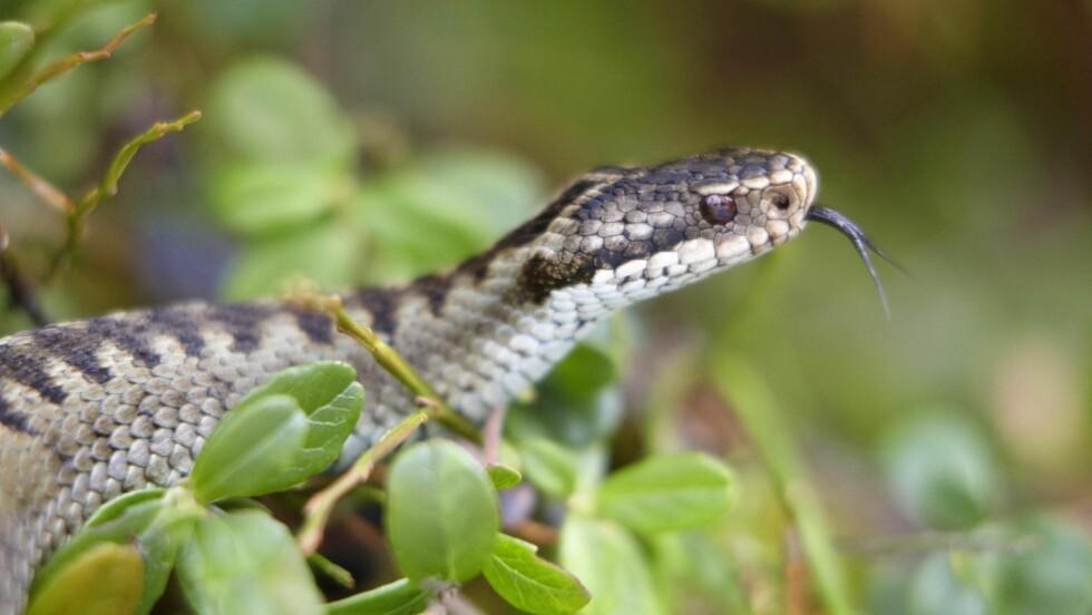 GIFTIG: Hoggormen er Norges eneste giftige slange. Foto: NTBScanpix