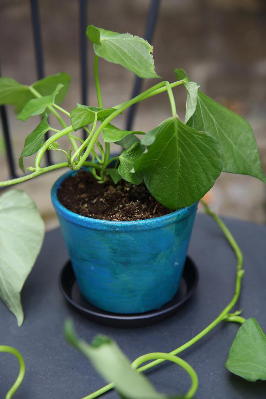 TRENDPLANTEN: Søtpotet har tatt helt av, både i matverden og i planteverden. Dette er årets it-plante, så den fortjener plass og en krukke som synes. Knæsje farger er herlige og gir uterommet litt ekstra krydder!  Foto: Krista Elvheim