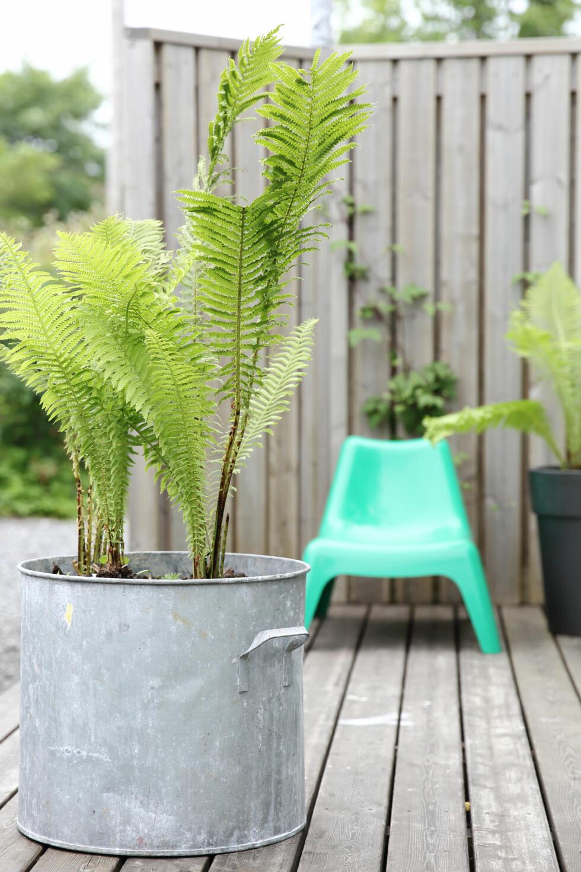 PLANTER PÅ BUDSJETT: Planter koster når du skal kjøpe mange av dem, men du kan få alt helt gratis om du er på tur i skogen. Grav opp noen fine bregner fra skogholtet, ta dem med hjem, og plant dem ipotter. De er lettstelte og vokser seg store og frodige iløpet av sommeren. Gamle kasseroller er tøffe å gjenbruke som potter til de største plantene. Tenk at en liten bregne fra skogen kan bli din egen lille «minipalme» hjemme på terrassen!  Foto: Krista Elvheim