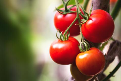 <strong>BRA FOR HUDEN:</strong> Lykopenet i tomat kan være med på å beskytte huden fra solstråler, men erstatter selvsagt ikke solkremen. Jo rødere tomat, jo mer lykopen.  Foto: Scanpix