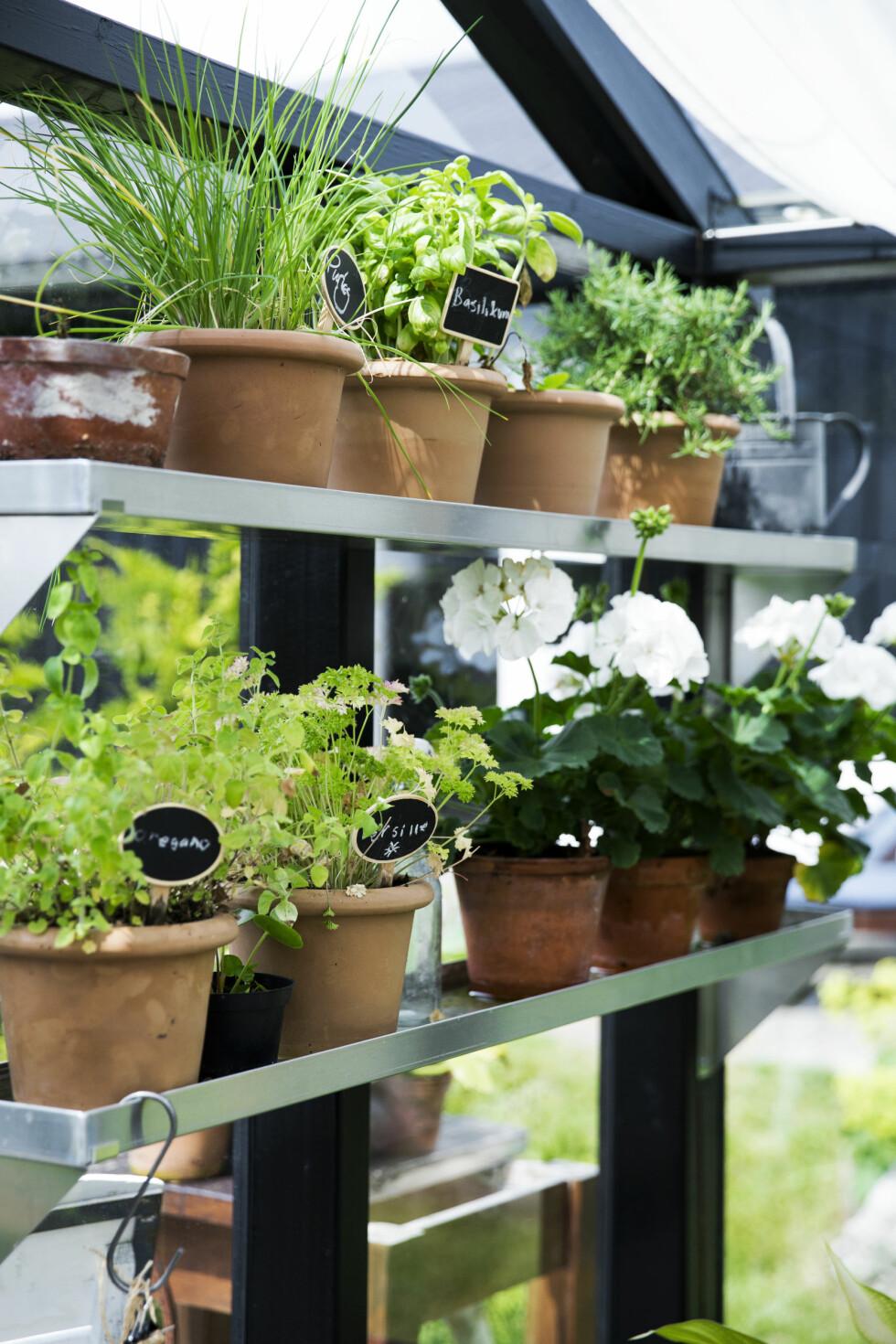 POTTEPLANTER: I drivhuset er det satt opp hyller til potter så det er masse plass til alle de ulike urteplantene. Hyllene er fra Zinkbakken.dk. Foto: Tia Borgsmidt