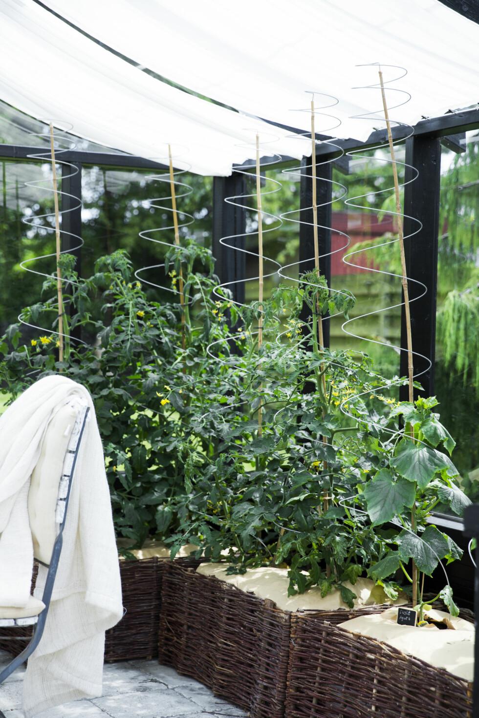 PRAKTISK DRIVHUS: Charlotte har dyrket både tomat og agurk idrivhuset. Foto: Tia Borgsmidt