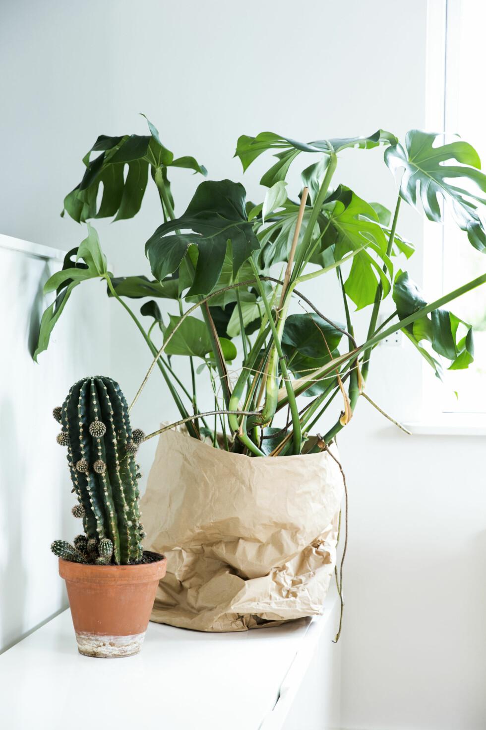 PLANTER GIR LIV: Grønne planter gir liv til interiøret. Den brune posen som er brukt som potteskjuler, er egentlig en papirsekk til hageavfall som er brukt på vrangen.   Foto: Tia Borgsmidt