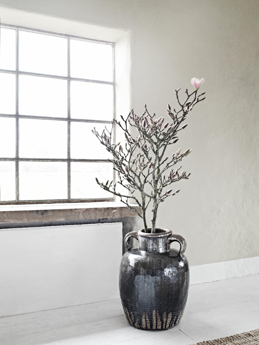 EKSOTISK SKJØNNHET: Drømmer du om et magnoliatre, trenger det slett ikke være så vanskelig å få til som ryktet tilsier. Magnoliaen fås nå i utallige varianter, som tre eller busk, noen mer hardføre enn andre. Skal du forsøke å få dem til åvokse i potte eller urne, anbefales ofte Stjernemagnolia. Husk at det er lurt årådføre seg om stell på hagesenteret. Foto: Sara Svenningrud
