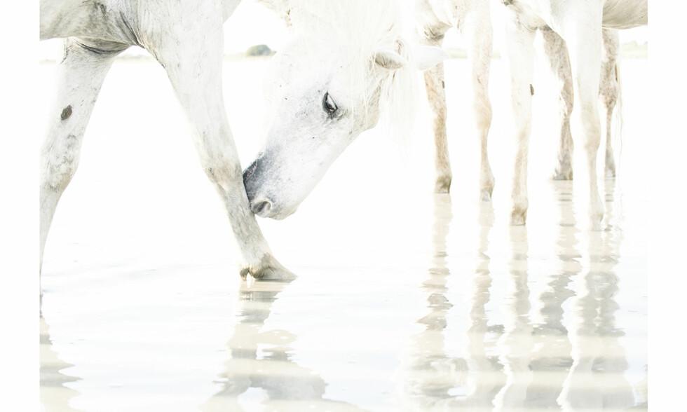 HVITE HESTER: Camargue-hestene fødes brune, men ved fireårsalder har de fått den karakteristiske grå-hvite fargen som kjennetegner dem. Foto: Charlotte Spetalen