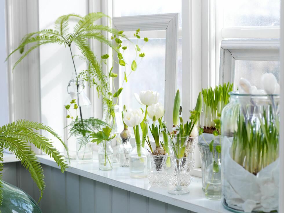 <strong>PLANTETIPS:</strong> Du kan også klippe av litt grønt fra dine egne potteplanter og sette det i vann. Foto: Olof Abrahamsson