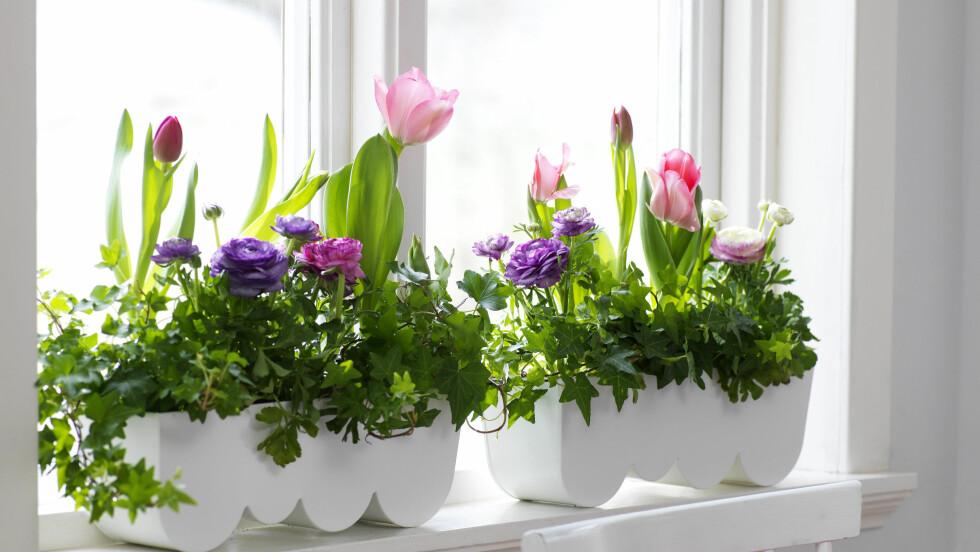 <strong>BLOMSTER I VINDUSKARMEN:</strong> Det smarte med å plante blomster i potter, er at du enkelt kan flytte dem til et kjøligere sted om natten. Da forlenges blomstringen. Foto: Olof Abrahamsson