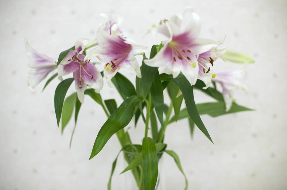 LILJER: Generelle råd for å holde blomsterbuketter gjelder for de fleste snittblomster. Foto: Scanpix Norway