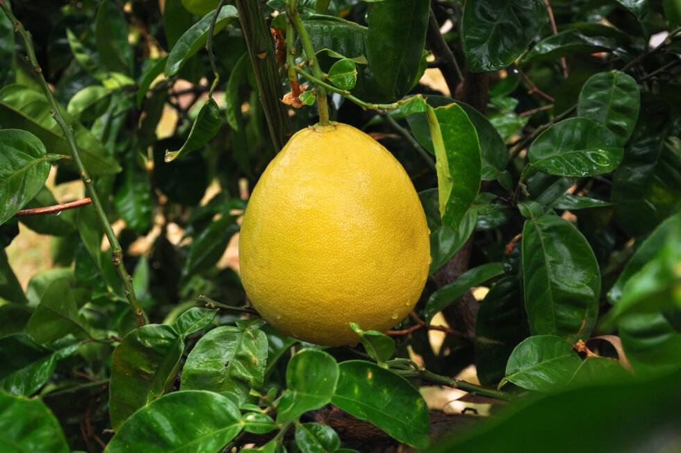 ASIATISK: Pomeloen er opprinnelig asiatisk, og brukes mye i asiatiske retter.  Foto: Fotolia