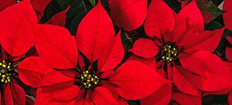 Juleallergiene du bør være klar over