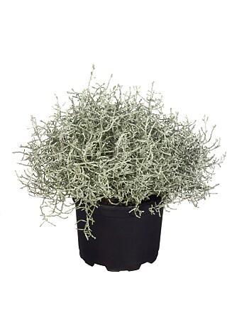 <strong>TØFF PLANTE:</strong> Calosephalus, eller sølvtråd, blir ekstra fine når flere står sammen i et bed eller stor potte. Foto: blickwinkel / Alamy/All Over Pre