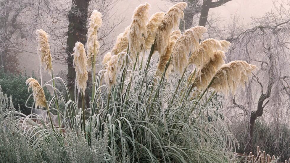 <strong>LEVER VINTEREN GJENNOM:</strong> Cortaderia er en nydelig gressplante som lever godt hele vinteren gjennom.  Foto: John Glover / Alamy/All Over Pre