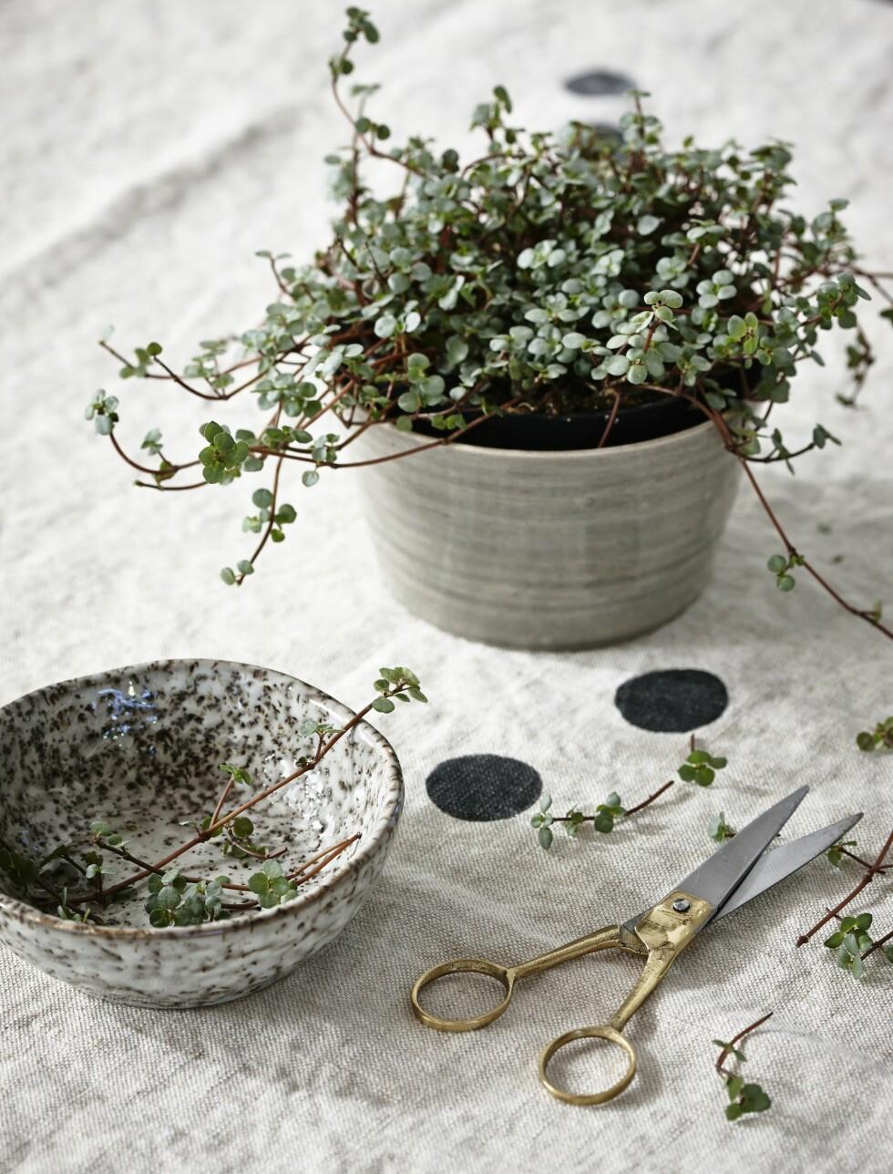 <strong>KLIPP DET OPP:</strong> Spre planten utover hele bordet ved å legge det opp på denne måten.  Foto: Per Gunnarson