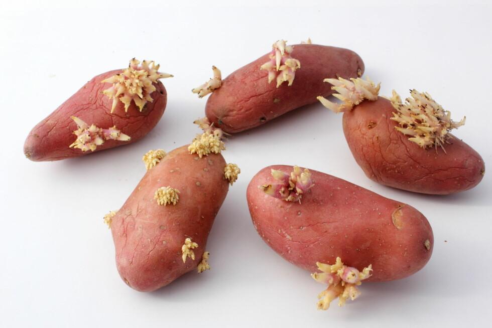 IKKE SPIS DISSE: Når potetene har begynt å spire såpass mye bør du kaste dem. Foto: helenedevun - Fotolia