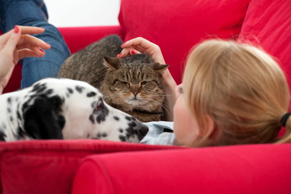 FLÅTT I SOFAEN: Flåtten bruker en stund på å feste seg i huden på dyret, og kan derfor sitte i pelsen når hunden eller katten kommer inn. Og er du skikkelig uheldig så kan den falle ut av pelsen under sofakosen. Foto: Marcin Sadlowski - Fotolia