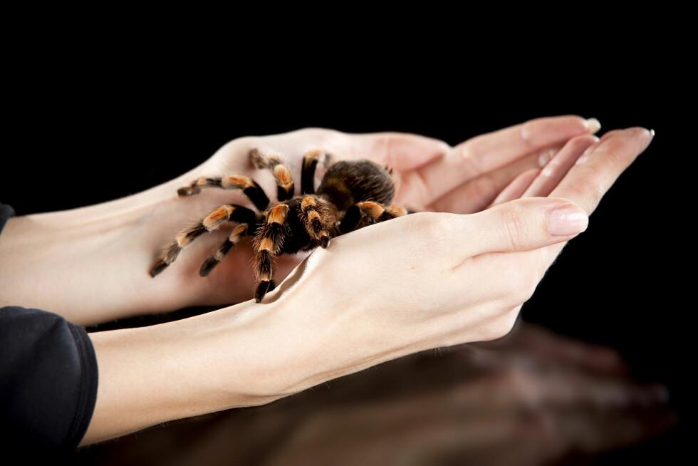 HOLDE EN EDDERKOPP: Eksperten forteller at han pleier å ta med folk som har edderkoppfobi med i dyrebutikker for å holde taranteller.  Foto: ChilliProductions - Fotolia