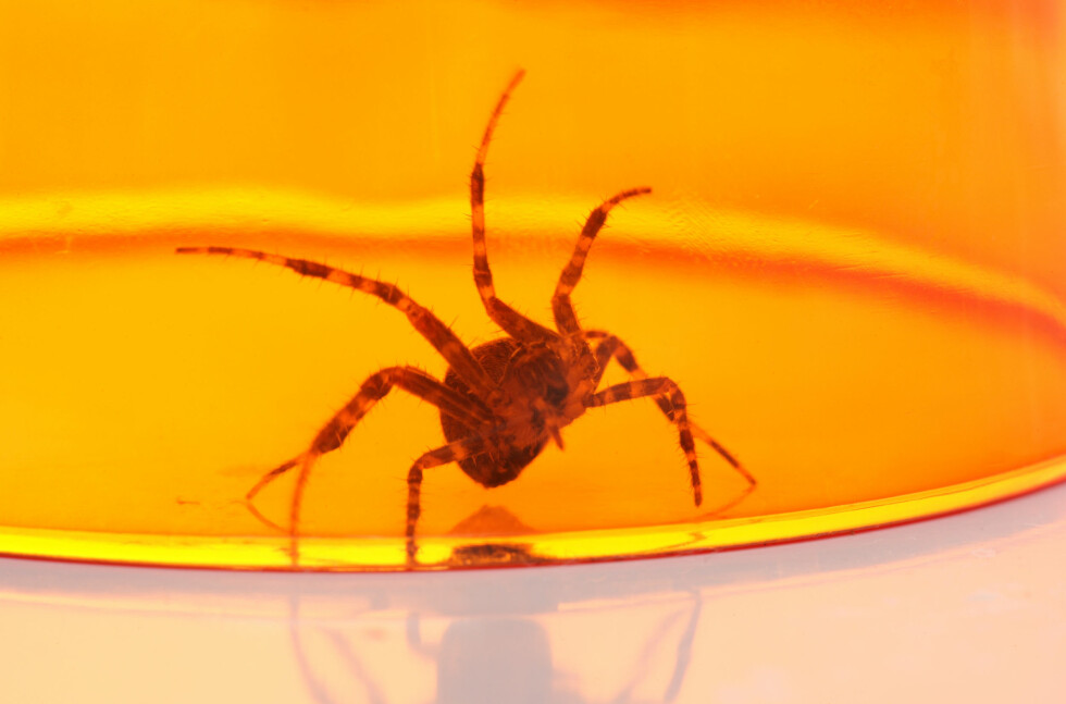 FANG DEM I ET GLASS: En måte å bli kvitt fobien er å fange en edderkopp i et glass og holde det i hånda til angsten forsvinner.  Foto: Chris Brignell - Fotolia