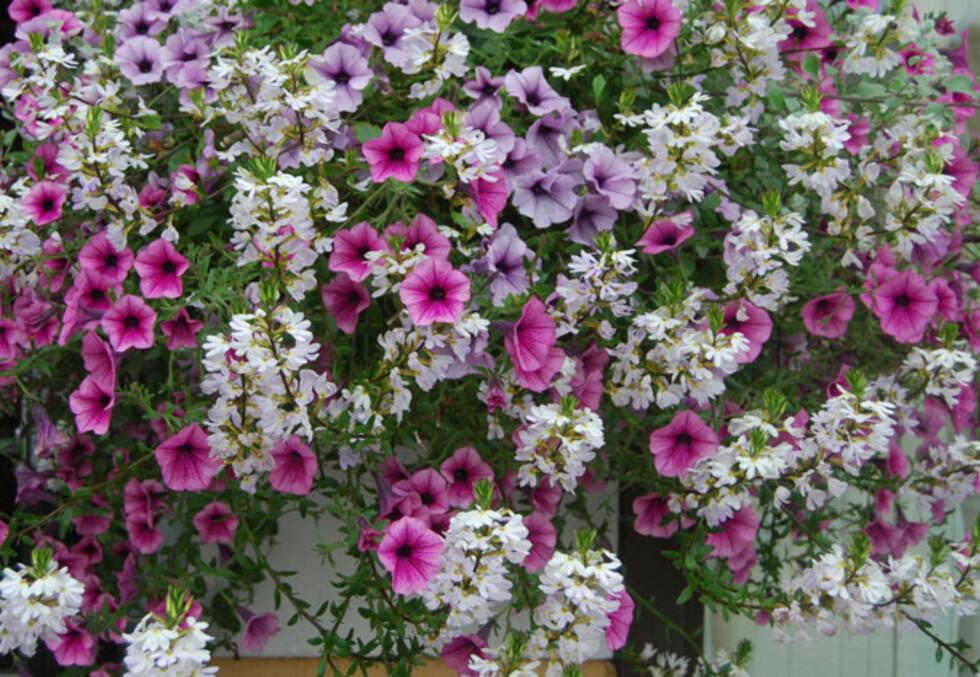 VAKKERT: Femtunge er en fin slyngplante som snirkler seg sine lange stilker rundt andre planter, her med Superpetunia.