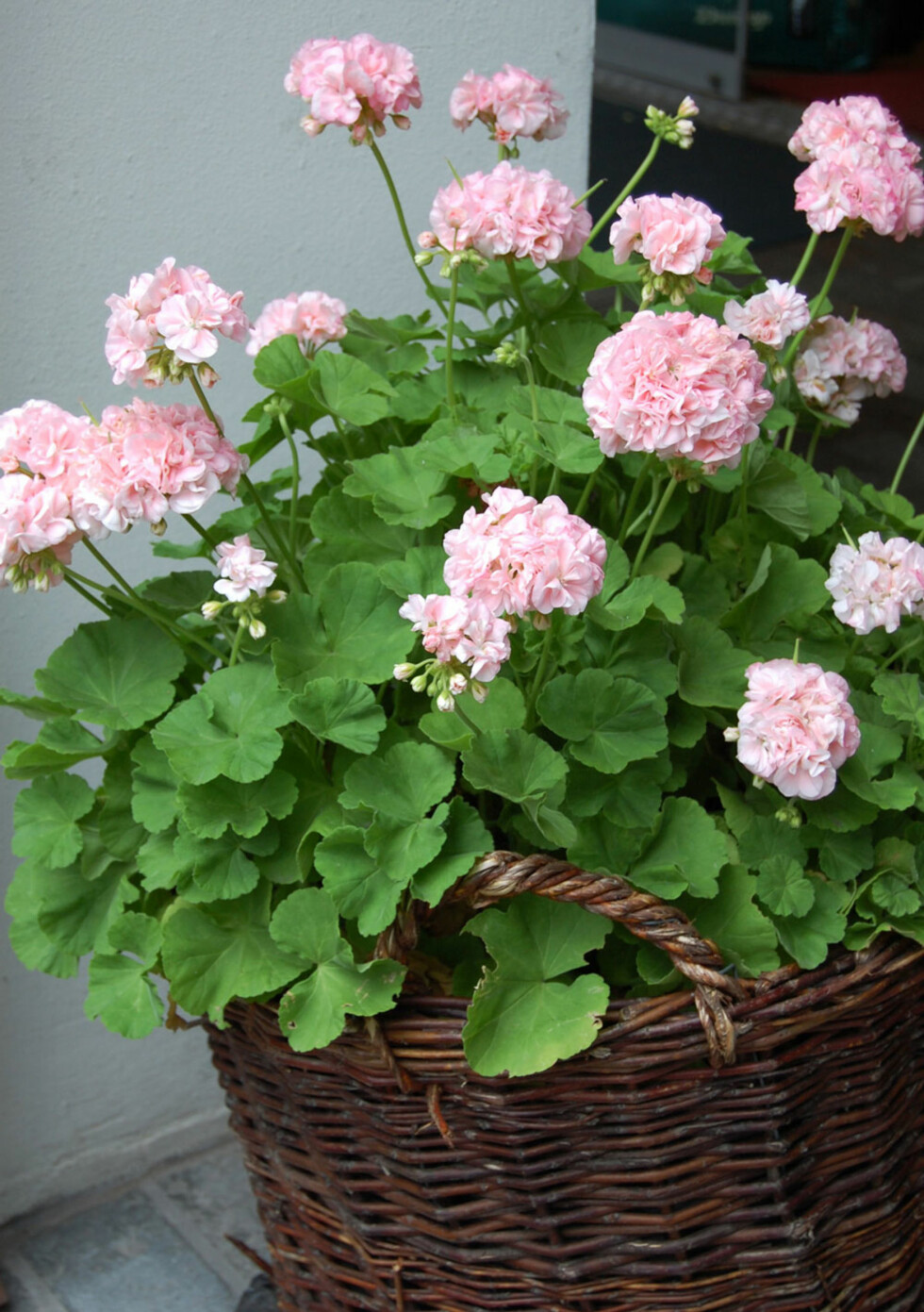 LETTSTELT: Pelargonium er en populær prydplante