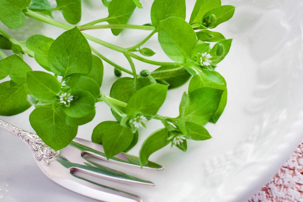 VASSARVE: For mange er den en pest og en plage i blomsterbeddet, men faktisk kan du spise den, og den er proppet med næringsstoffer.  Foto: PhotoSG - Fotolia