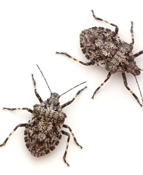 BREITEGER: På engelsk stink bug, bør helst ikke spise rå.  Foto: epantha - Fotolia
