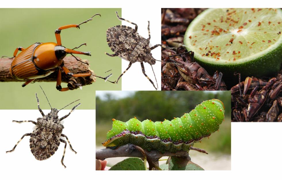ER DU KLAR FOR Å SPISE INSEKTER: Ifølge ekspertene blir det en stadig større utfordring å ha nok mat til verdens nesten åtte milliarder mennesker, og de ser nå mot insektene som næringskilde.  Foto: Fotolia