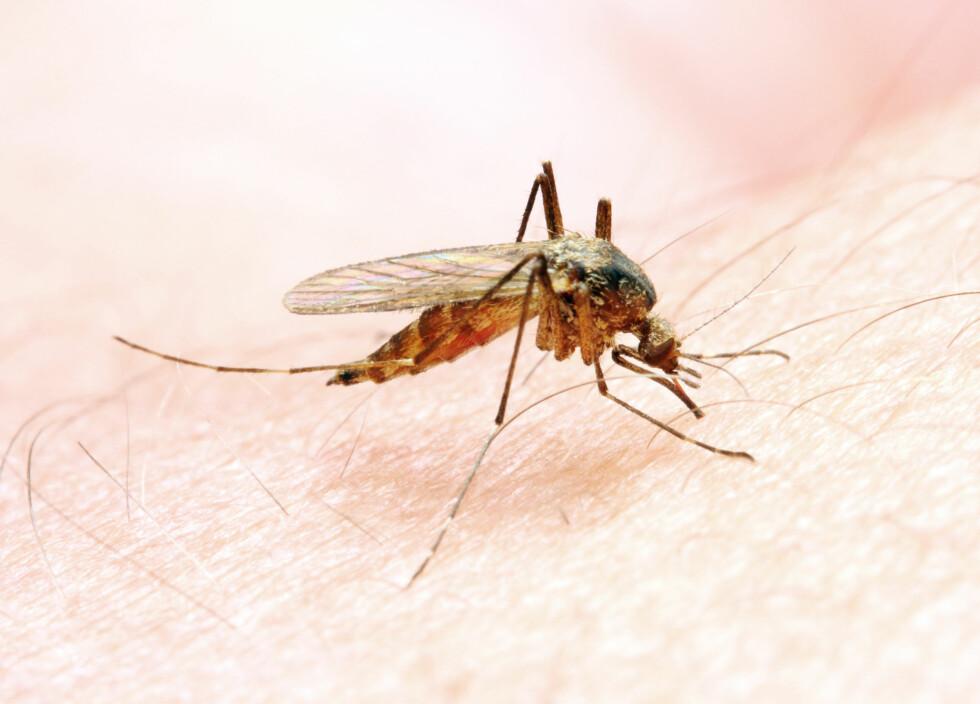 SMITTEBÆRER: Den blodsugende myggen bærer smitten fra person til person i malariarammede områder. Hvert år dør opptil 2,7 millioner av malaria. Foto: Kletr - Fotolia
