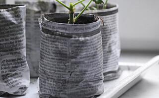 Bruk avispapir som blomsterpotte