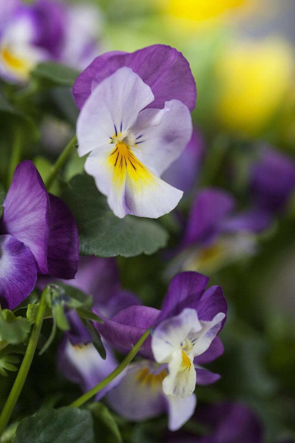 STEMORSBLOMST: Naturens vakreste påfunn. Bilde fra Mester Grønn. Foto: Produsenten