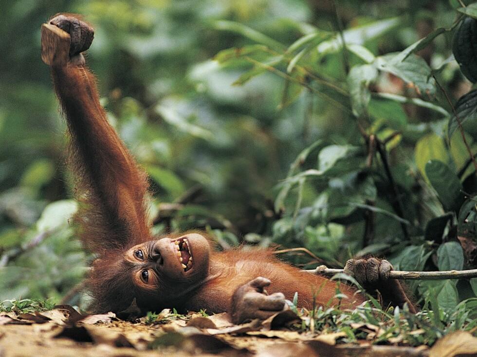 Ler du som en apekatt?