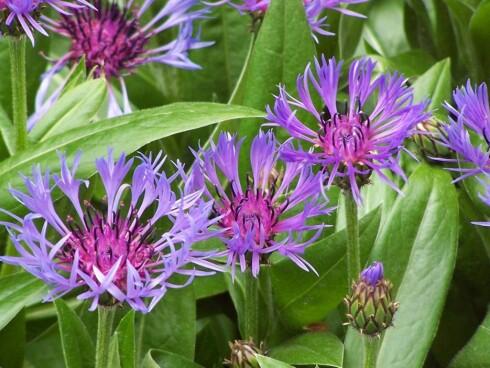 Kornblomster har en nydelig blå-lilla farge og friske, grønne blader. Foto: Elke Rohn Foto: Elke Rohn/StockXchng